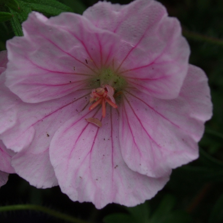 GERANIUM sanguineum 'Apfelblüte' (Storkenæb)