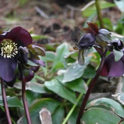 HELLEBORUS hybrid 'Blue Lady' - Julerose