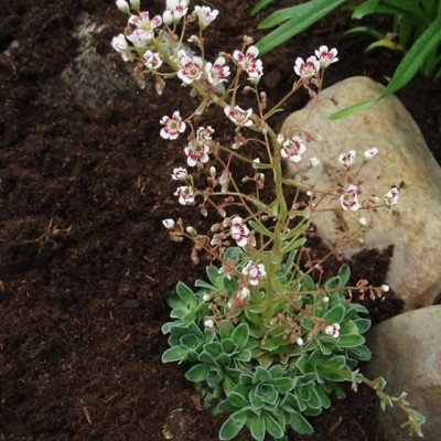 SAXIFRAGA cotyledon 'Southside Seedling' (Bjergfrue)