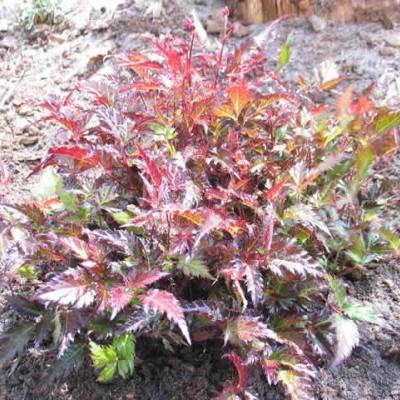 ASTILBE simplicifolia 'Inshriach Pink' (Astilbe)