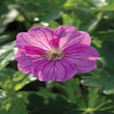 GERANIUM hybrid 'Blushing Turtle'® (Storkenæb)