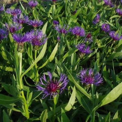 CENTAUREA montana 'Grandiflora' (Knopurt)