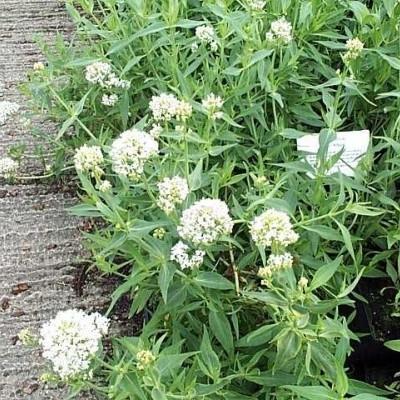 CENTRANTHUS ruber 'Albus' (Albiflorus) (Sporebaldrian)