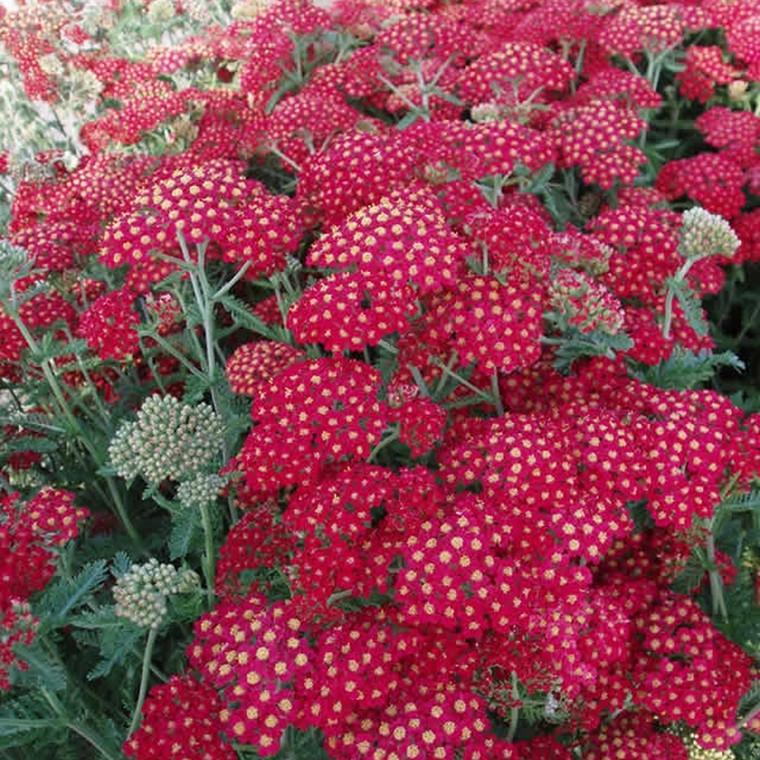 ACHILLEA millefolium 'Paprika' (Røllike)