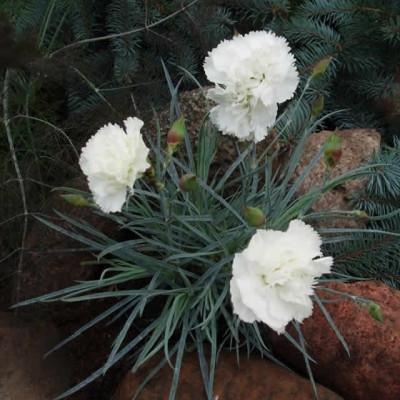 DIANTHUS plumarius 'Haytor White' (Fjernellike)