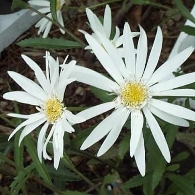 LEUCANTHEMUM superbum 'Christine Hagemann'  (Chrysanthemum) (Kæmpemargerit)