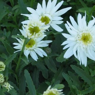 LEUCANTHEMUM superbum 'Wirral Supreme' (Chrysanthemum) (Kæmpemargerit)