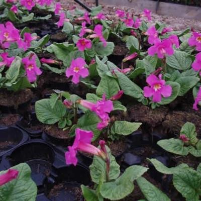 INCARVILLEA mairei var. Grandiflora (Havegloxinia)