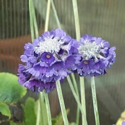 PRIMULA capitata ssp. Mooreana (Primula)