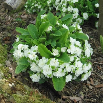 PRIMULA vulgaris 'Dawn Ansell' (Primula)