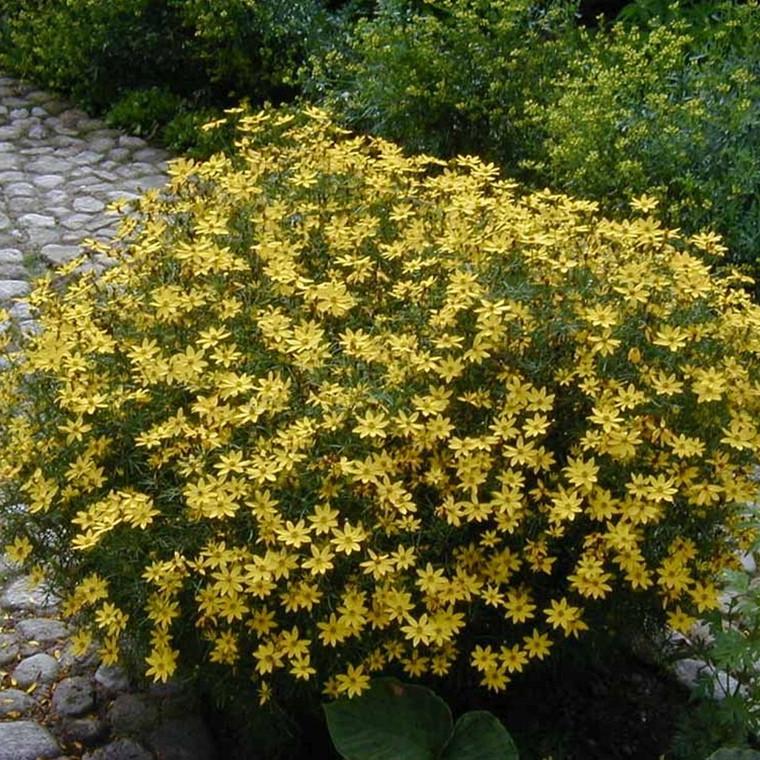 COREOPSIS verticillata 'Grandiflora' (Skønhedsøje)