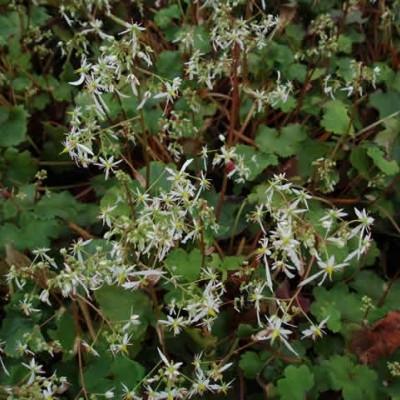 SAXIFRAGA cortusifolia var fortunei (Høststenbræk)