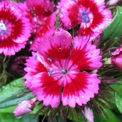 DIANTHUS barbatus 'Red Rose Bicolor' (Studenternellike)