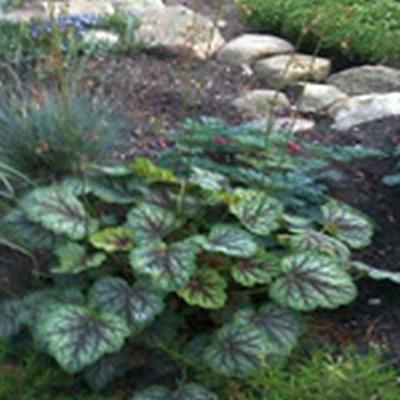 HEUCHERA hybrid 'Green Spice'® (Alunrod)