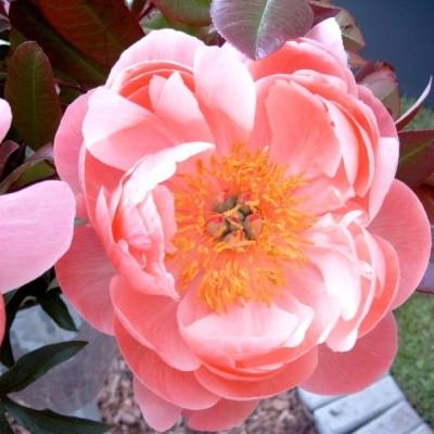 PAEONIA lactiflora 'Coral Charm' (Silkepæon)