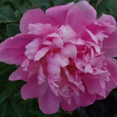PAEONIA lactiflora 'Monsieur Jules Elie' (Silkepæon)