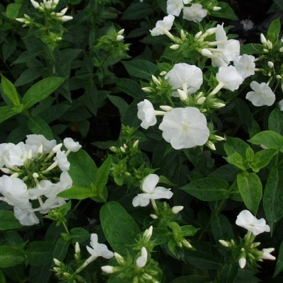 PHLOX paniculata 'Fujiyama' (Høstfloks)