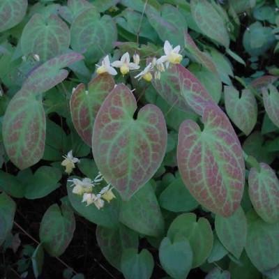 EPIMEDIUM versicolor 'Sulphureum' (Bispehue)