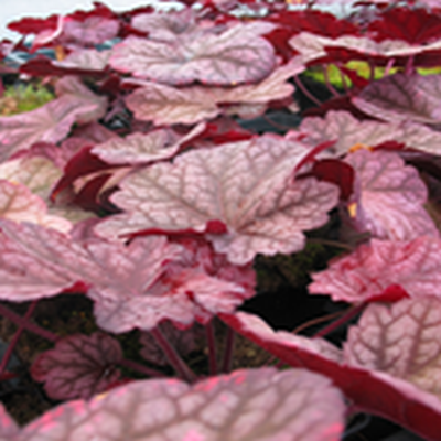 HEUCHERA hybrid 'Berry Smoothies'® (Alunrod)