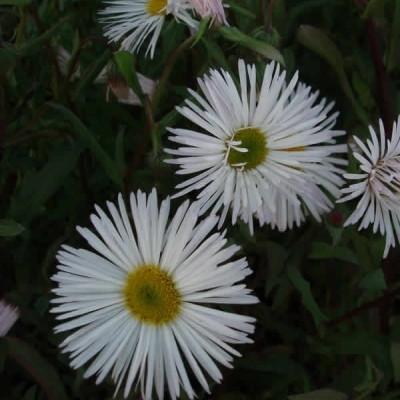 ERIGERON hybrid 'Sommerneuschnee' (Bakkestjerne)