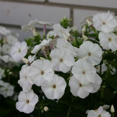 PHLOX paniculata 'Adessa®White' (Høstfloks)