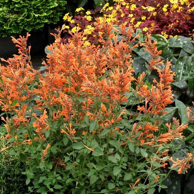 AGASTACHE hybrid 'Kudos Mandarin'® - Anis Isop (MS)