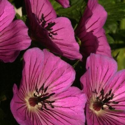 GERANIUM hybrid 'Pink Penny' (Storkenæb)
