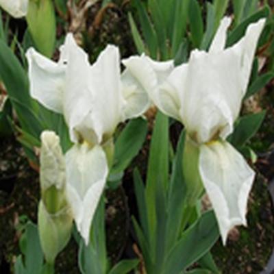 IRIS pumila 'Lilli White' (Dværgiris)