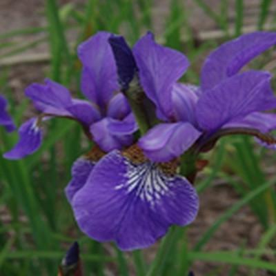 IRIS sibirica hybrid 'Heavenly Blue' (Sibirisk Iris)