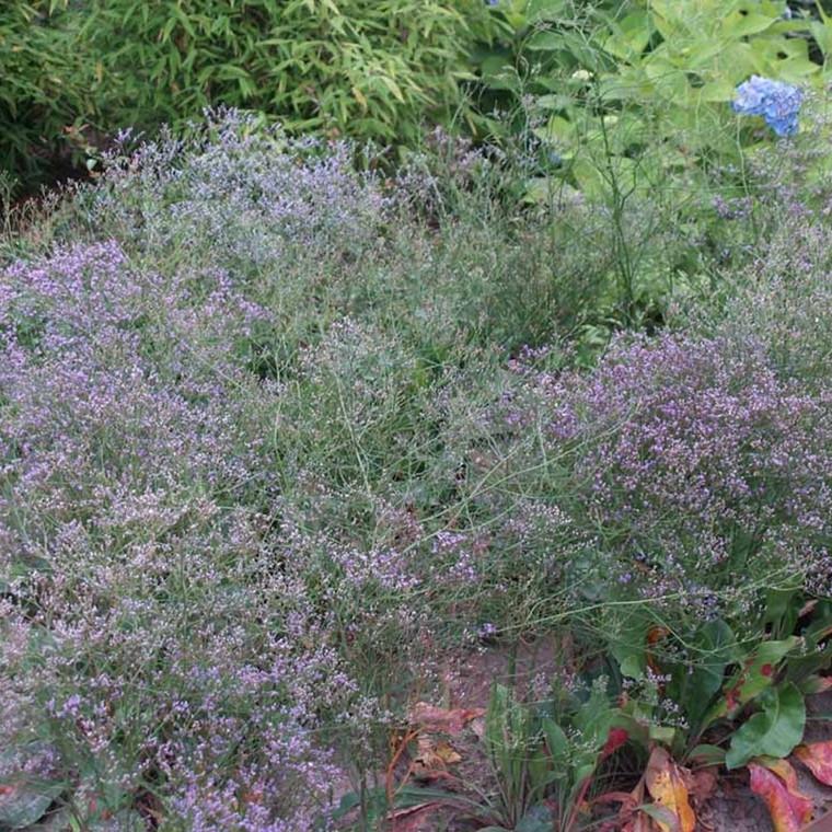 LIMONIUM latifolium (Hindebæger/Statice)