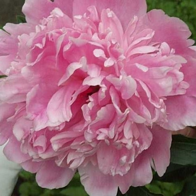 PAEONIA lactiflora 'Sarah Bernhardt' (Silkepæon)