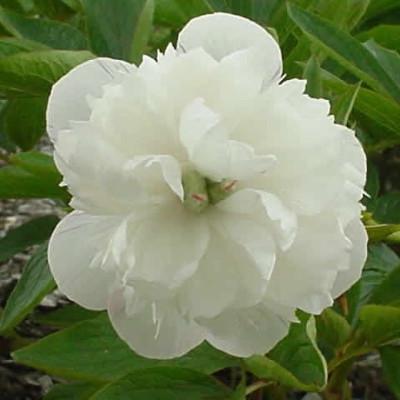 PAEONIA officinalis 'Alba Plena' (Bonderose)