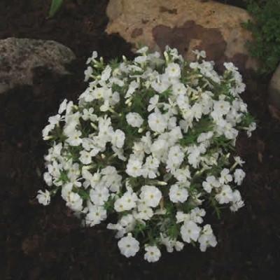 PHLOX douglasii 'White Admiral' (Pudefloks)