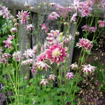 AQUILEGIA vulgaris 'Nora Barlow' (Akeleje)