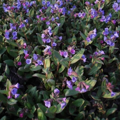 PULMONARIA angustifolia 'Azurea' (Lungeurt)