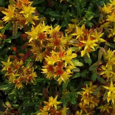 SEDUM floriferum 'Weihenstephaner Gold' (Stenurt)