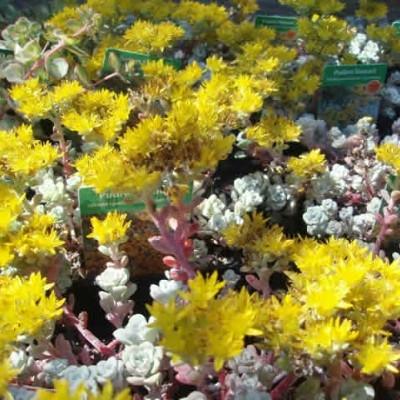 SEDUM spathulifolium 'Cape Blanco' (Pudret Stenurt)
