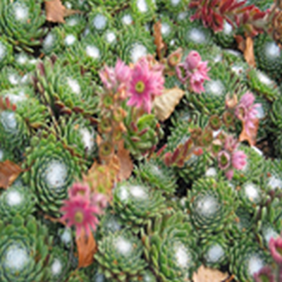 SEMPERVIVUM arachnoideum (Spindelvævshusløg)