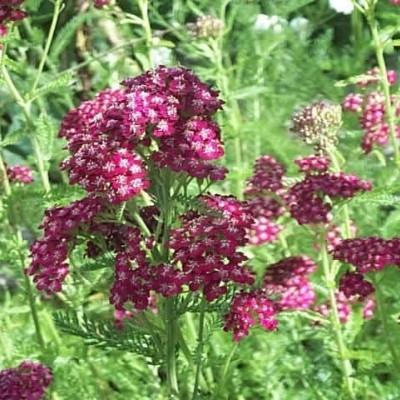ACHILLEA millefolium 'Sammetriese' - Røllike