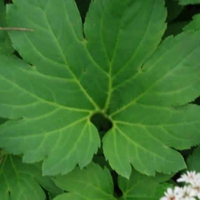 ACERIPHYLLUM rossii (Ahornblad)