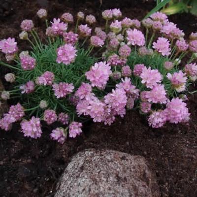 ARMERIA juniperifolia (Engelskgræs)
