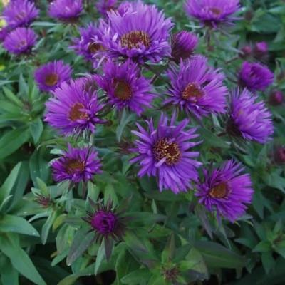 ASTER novae-angliae 'Purple Dome' (Høstasters)
