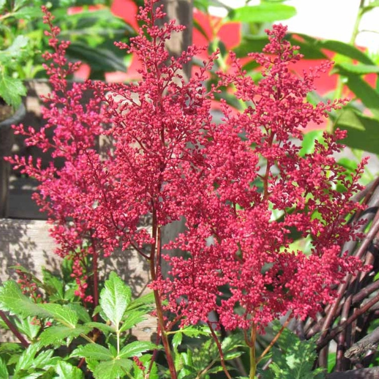 ASTILBE japonica 'Montgomery' (Astilbe)