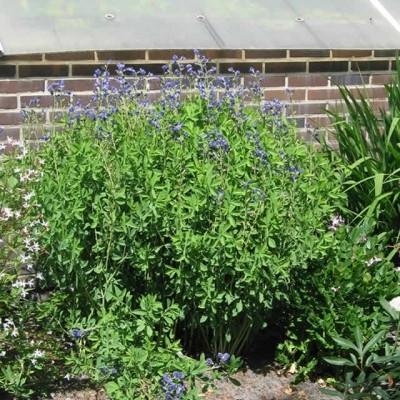 BAPTISIA australis (Farvebælg)