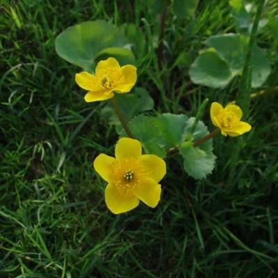CALTHA palustris (Engkabbeleje)