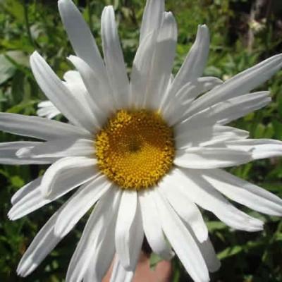 LEUCANTHEMUM superbum 'Sølvprinsessen'  (Chrysanthemum) (Kæmpemargerit)