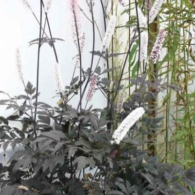 CIMICIFUGA ramosa 'Brunette' (Sølvlys)
