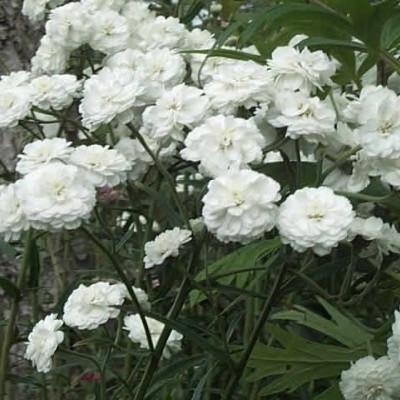 ACHILLEA ptarmica 'Boule de Neige' (Røllike)