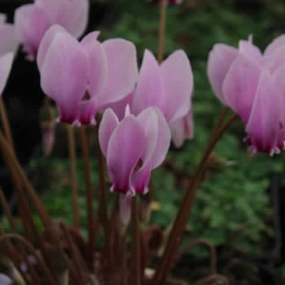 CYCLAMEN hederifolium 'Silverleaf' (neapolitanum) (Alpeviol)