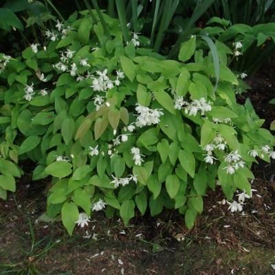 EPIMEDIUM youngianum 'Niveum' - Bispehue (MS)